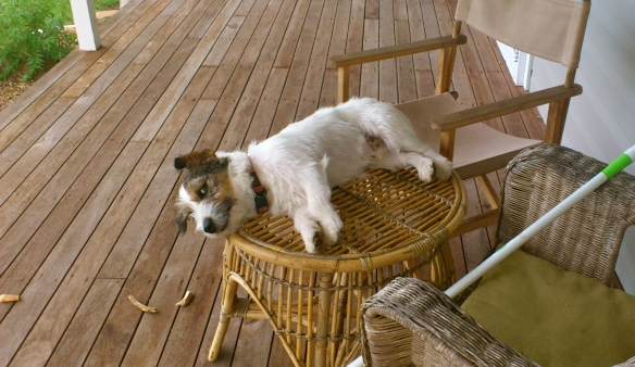 Dog on coffee table