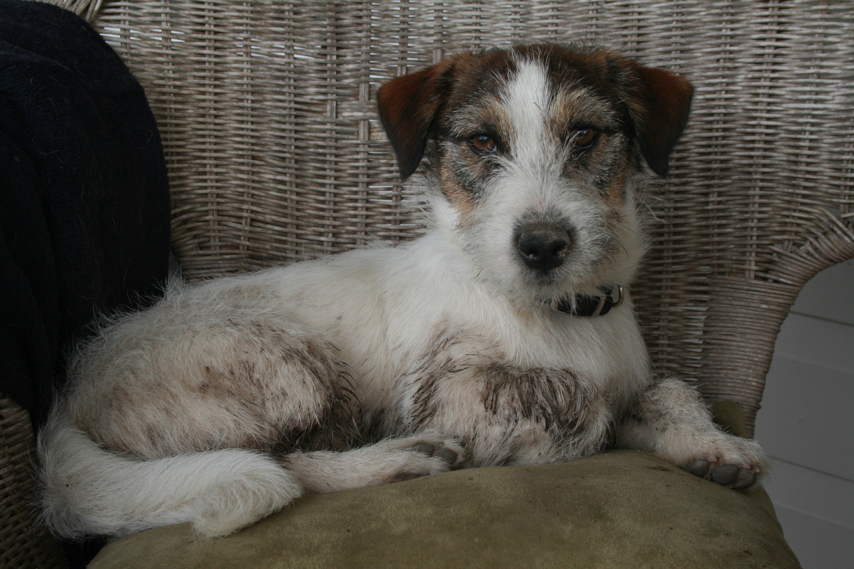 Hairy Jack Russell 50