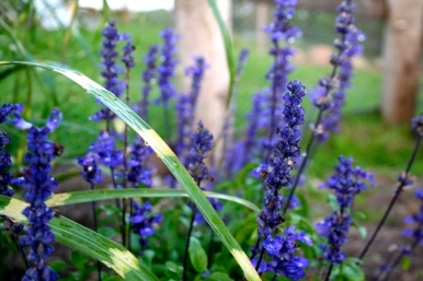 Blue Salvia