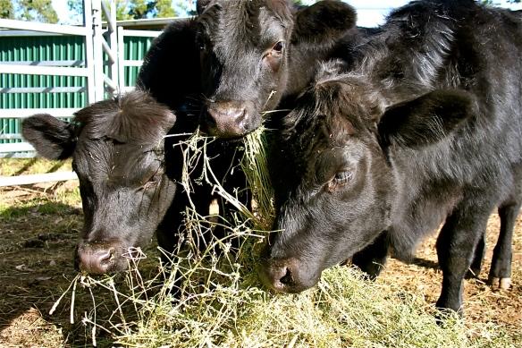 Steers feeding 2