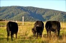 Steers feeding