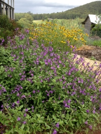 Salvia and rudbekia