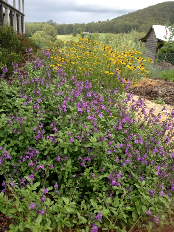 Salvia and rudbekia